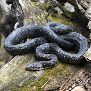 Eastern Rat Snake (Pantherophis alleghaniensis) curled up on dead tree