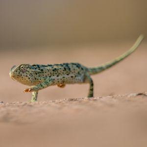 Flap necked chameleon (Chamaeleo dilepis)