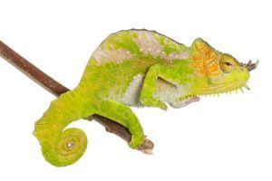 Four horned chameleon on white (Trioceros quadricornis)