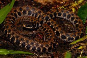 Kirtlands snake (Clonophis kirtlandii)