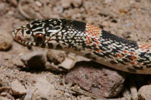 Long-nosed snake (Rhinocheilus lecontei)