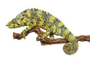 Mellers Chameleoon (Trioceros melleri)