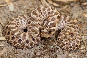 Mexican Hog-nosed Snake (Heterodon kennerlyi)