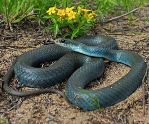 North American Blue Racer (Coluber constrictor)