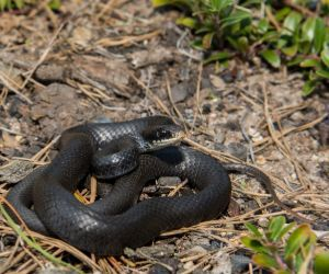 Northern Black Racer (Coluber constrictor constrictor)