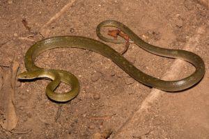 Northern Green Ratsnake (Senticolis triaspis intermedia)