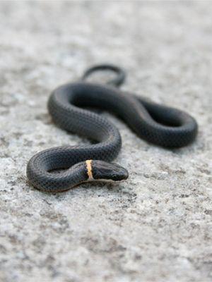 Northern Ring necked snake (Diadophis punctatus edwardsii)