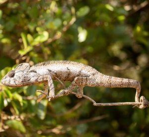 Petter's Chameleon on branch (Furcifer Petteri)