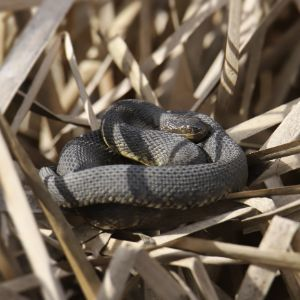 Plain-bellied water snake (Nerodia erythrogaster) curled up in brown grass
