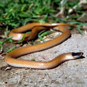 Plain black headed snake (Tantilla nigriceps)