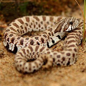 Plains Hognose Snake (Heterodon nasicus nasicus)