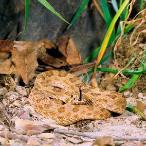 Prairie Rattlesnake (Crotalus viridis) curled up