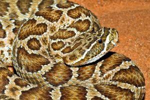 Prairie Rattlesnake ready to strike (Crotalus viridis)