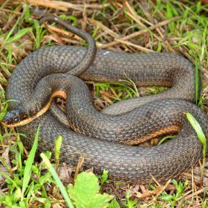 Queensnake (Regina septemvittata) coiled up in grass