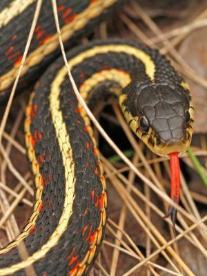 Red sided garter snake (Thamnophis sirtalis infernalis)