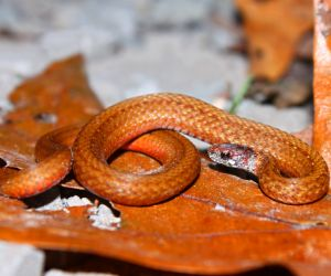 Redbelly Snake (Storeria occipitomaculata)