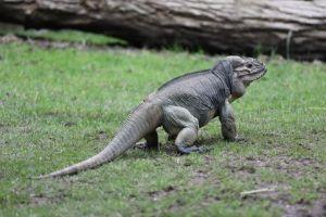 Rhino Iguana (Cyclura cornuta)