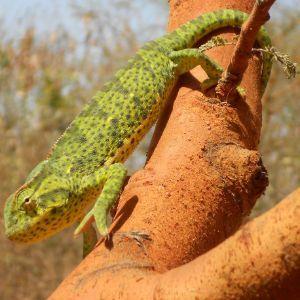 Senegal Chameleon on tree (Chamaeleo senegalensis)