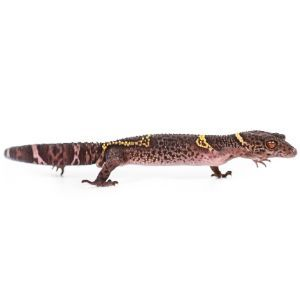 Side view of chinese cave gecko
