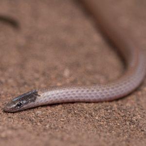 Smiths Black-headed Snake (Tantilla hobartsmithi Taylor)