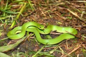 Smooth green snake with tongue out (Opheodrys vernalis)