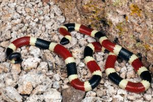 Sonoran Coral Snake (Micruroides euryxanthus euryxanthus)
