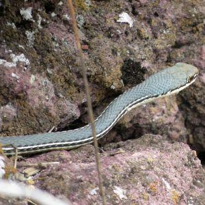Sonoran Whipsnake (Masticophis bilineatus)