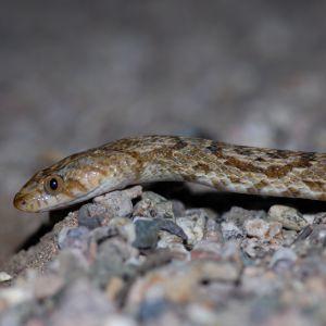 Sonoran lyre snake (Trimorphodon lambda)