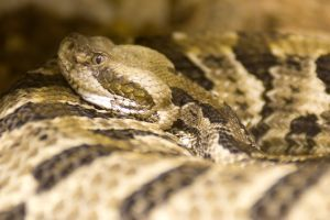 Timber Rattlesnake (Crotalus horridus) curled up