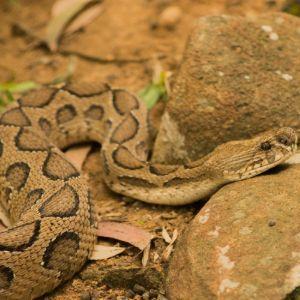 Timber Rattlesnake (Crotalus horridus) resting on rock