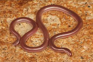 Trans-Pecos Blind Snake (Leptotyphlops humilis segregus) (by Jake Scott