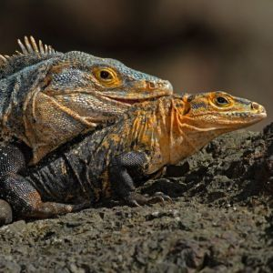 Two black iguanas sitting next to each other