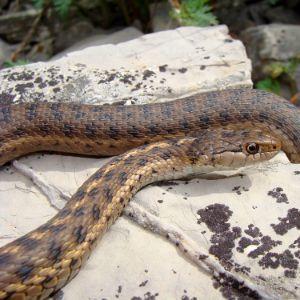 Wandering Garter Snake (Thamnophis elegans vagrans) on rock