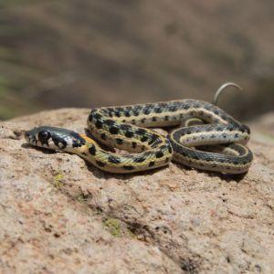 Western Blackneck Garter Snake (Thamnophis cyrtopsis cyrtopsis)