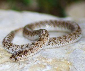 Western Hooknose Snake (Gyalopion canum)