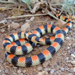 Western Shovel Snake mimicing Coral Snake (Chionactis occipitalis)