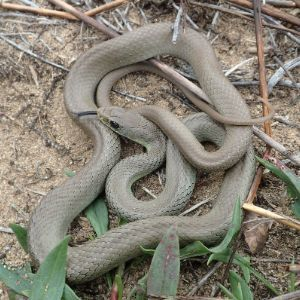Western yellow bellied racer (Yellow bellied racer (Coluber constrictor mormon)