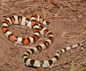 Central Plains Milksnake (Lampropeltis gentilis) from Otero County  Colorado by Andrew DuBois