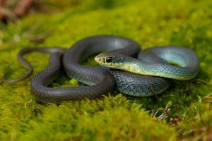 Eastern Yellow-Bellied Racer (Coluber constrictor flaviventris) by Peter Paplanus