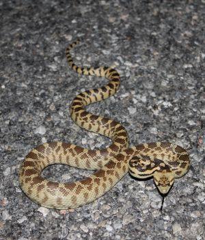 Great Basin Gopher Snake (Pituophis catenifer deserticola)