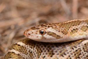 Kansas Glossy Snake (Arizona elegans elegans)