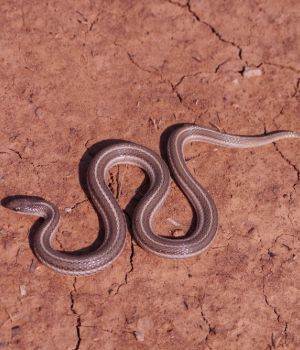 Lined Snake (Tropidoclonion)