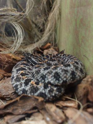 Mojave Rattlesnake (Crotalus scutulatus) curled up