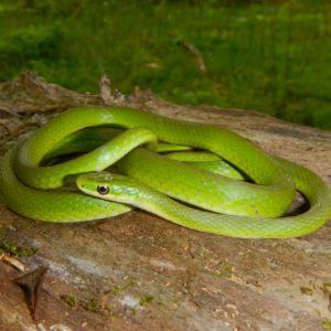 Northern Rough Green snake (Opheodrys aestivus aestivus) by Anne Devan-Song