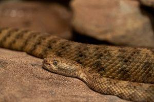 Panamint rattlesnake (Crotalus mitchellii stephensi) in california desert