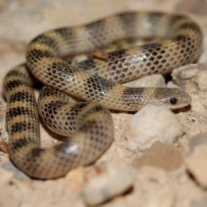 Western Ground Snake (Sonora semiannulata) in Western Texas