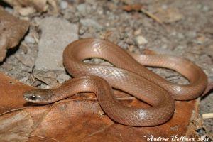 Western Smooth Snake (Virginia valeriae elegans)