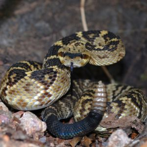 A black-tailed rattlesnake (Crotalus molossus molossus) from the ArizonaMexico border in a defensive strike position