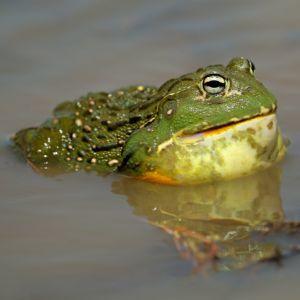 African Bullfrog (Pyxicephalus adspersus) in pond