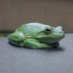 American green tree frog (Dryophytes cinereus) on desk